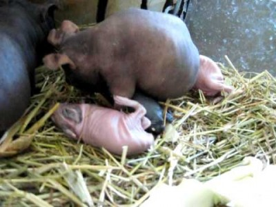 Mother Guinea Pig giving Birth