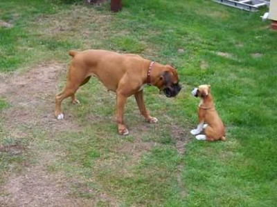 Boxer Dog – Crazy Fun