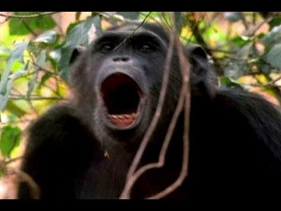 How Male Chimps Show Off