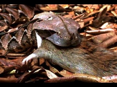 Gaboon Adder vs. Rat