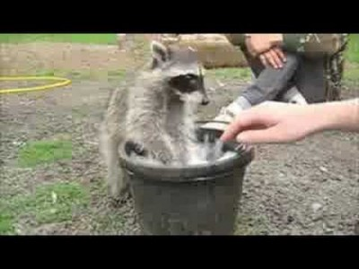 Playing with a Young Raccoon