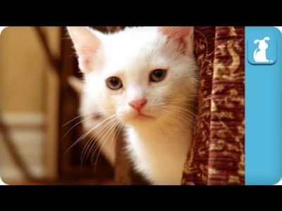 80 Seconds of Cute Siamese Kittens – Kitten Love