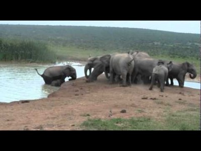 Baby Elephant Fallen Into Water Hole