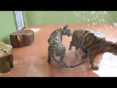 Tiger Brothers have Fun with Water