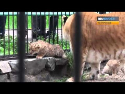 Liger Zita Nurses her Cubs at Novosibirsk Zoo