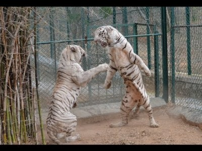 White Tiger vs White Tiger