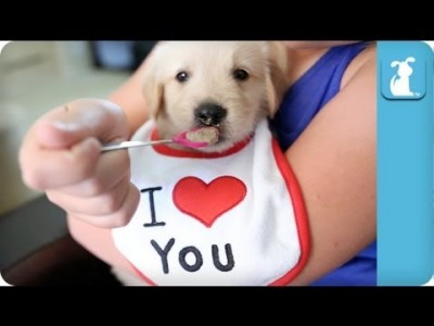 Spoon Feeding a Baby Golden Retriever Puppy – Puppy Love