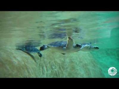 Young Green Sea Turtles Explore Their New Exhibit