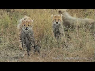 Cheetah Cubs Reunite with their Mother