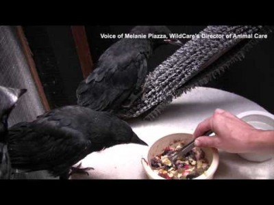 Baby Crows Being Taught How to Self-feed at WildCare