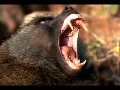 Baboon Attack