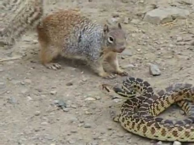 Squirrel Vs. Snake Battle