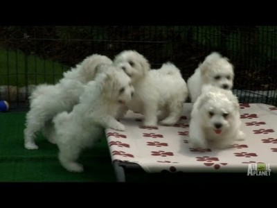 Fluffy White Pups – Too Cute!