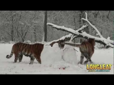 Snow Day for Longleat Safari Park Tigers