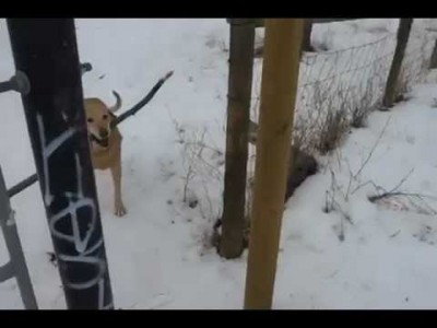Funny Dog gets stuck with a Stick