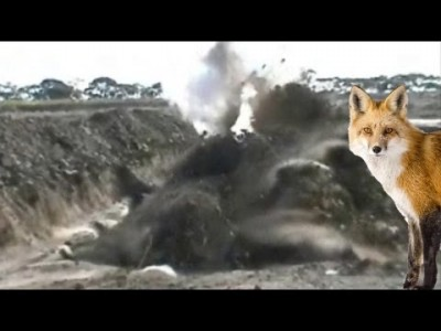 Unluckiest Fox in the Quarry