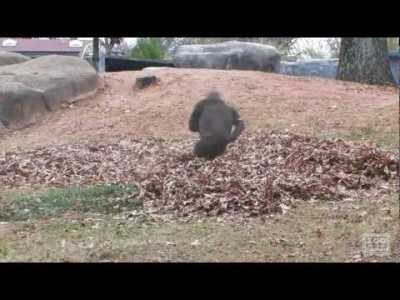 Gorillas Playing in Leaves
