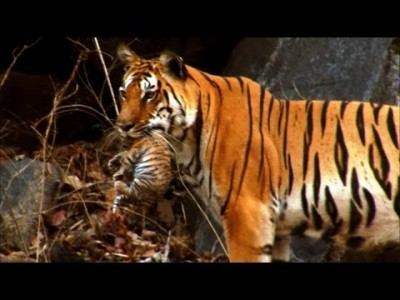 Wild Tiger Cub – First Time on Film