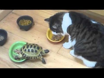 Small Turtles attacks Cats