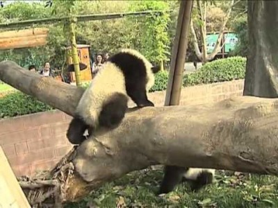 Pandas Competing for a Sunbathing Spot