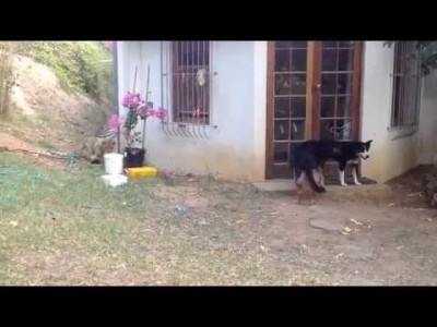 Sneaking Lion Cub gives Dog Fright