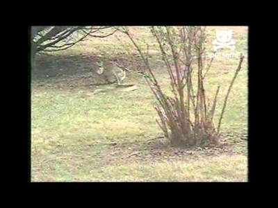 Rabbit Chases a Snake!