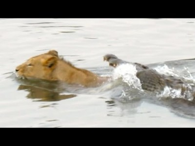 Crocodile attacks a Male Lion – Latest Wildlife Sightings