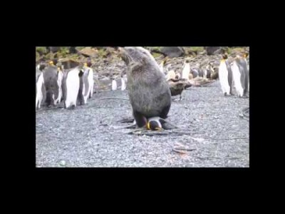 Seal sexually assaulting a Penguin