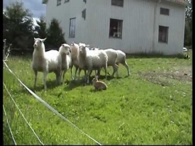 This Swedish Rabbit herds Sheep!
