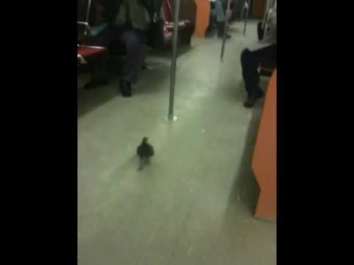 Pigeon riding the Subway – TOP DAWG!