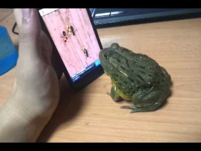 An African Bull Frog plays the 'Ant Crusher' Videogame!