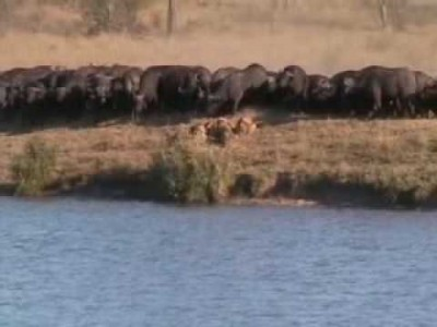 Battle at Kruger Involving Lions, Buffaloes and a Crocodile !