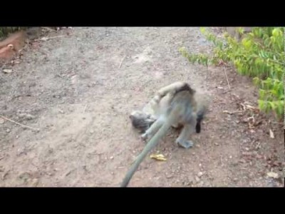 Baby Monkey Fighting with a Kitten