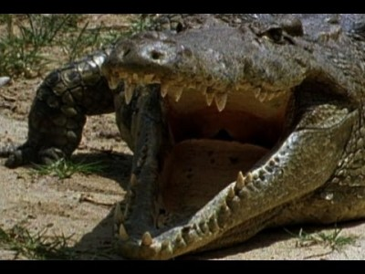 Monitor Lizard Snatches Crocodile Eggs