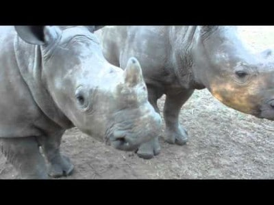This is what a Rhinoceros Sounds Like!