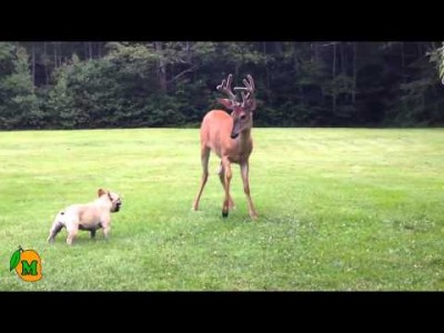 French Bulldog Plays with Deer