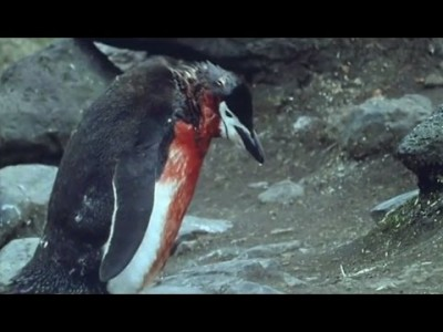 Ultimate Penguin Sacrifice – Life in the Freezer