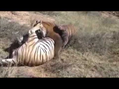 Two Male Tigers Fight at Tiger Canyons, South Africa