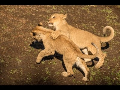 Lion Cubs playing in the Sun