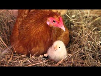 Chickens Hatching