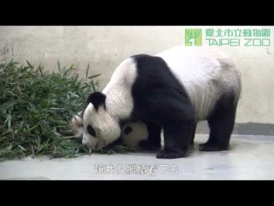 Yuan Zai Playing With Her Mother Yuan Yuan