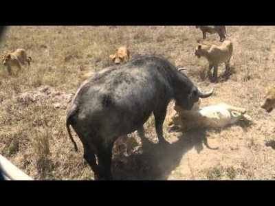 Lions attack Cape Buffalo using Suffocation, 2013