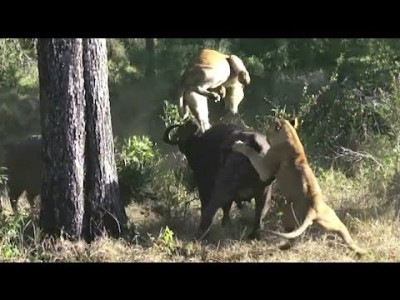 Lion Attack: Buffalo Wrestles with Lioness