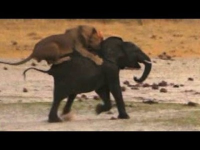 Lion Attacks Elephant: Brutal Kill Caught On Camera