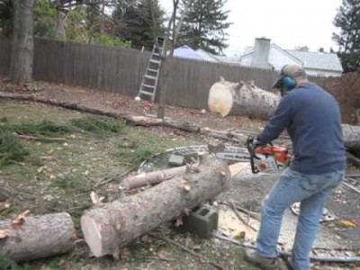 Fallen Tree Incredibly stands back up while being Cut