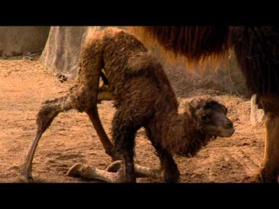 New Baby Camel Just Born – Cincinnati Zoo