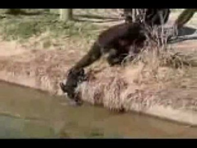 Naughty Chimp Pushes Baby into Water