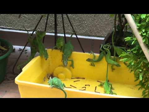 Chameleon feeding frenzy for Fisher fish chicken indianapolis in