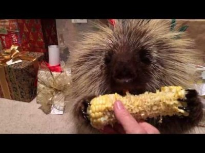 Porcupine Finds a Christmas Treat