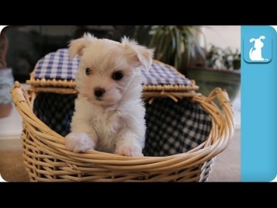 Maltese Puppy Can't Get Out Of The Basket – Puppy Love